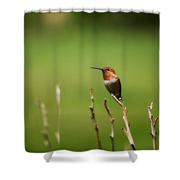 Rufous Hummingbird In Meadow Shower Curtain