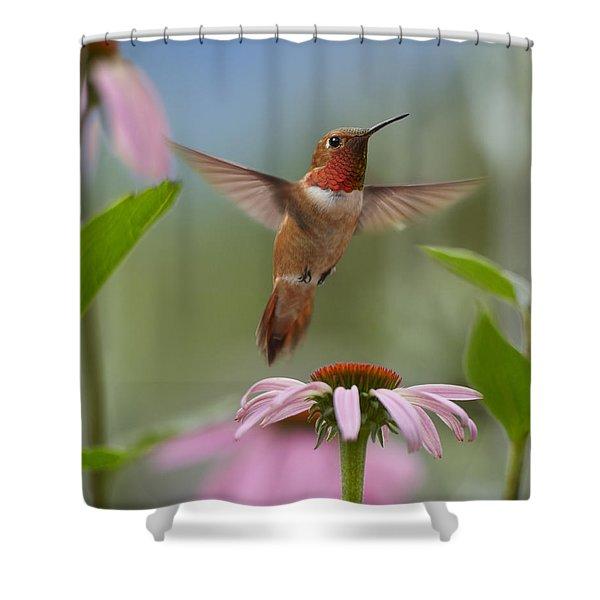 Rufous Hummingbird Male Feeding Shower Curtain