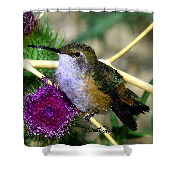 Rufous Hummingbird On Thistle Shower Curtain