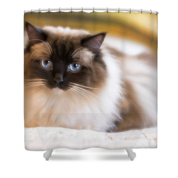 Seal Point Bicolor Ragdoll Cat Shower Curtain