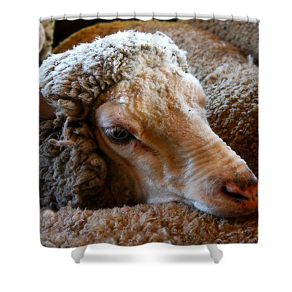 Sheep To Be Sheared Shower Curtain