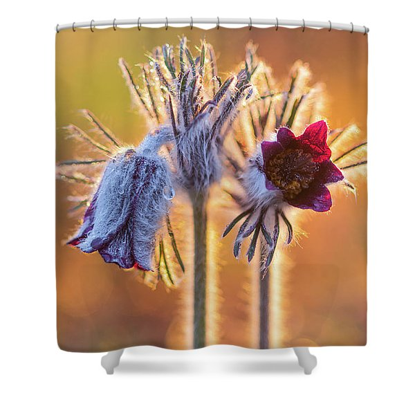 Small Pasque Flower, Pulsatilla Pratensis Nigricans Shower Curtain
