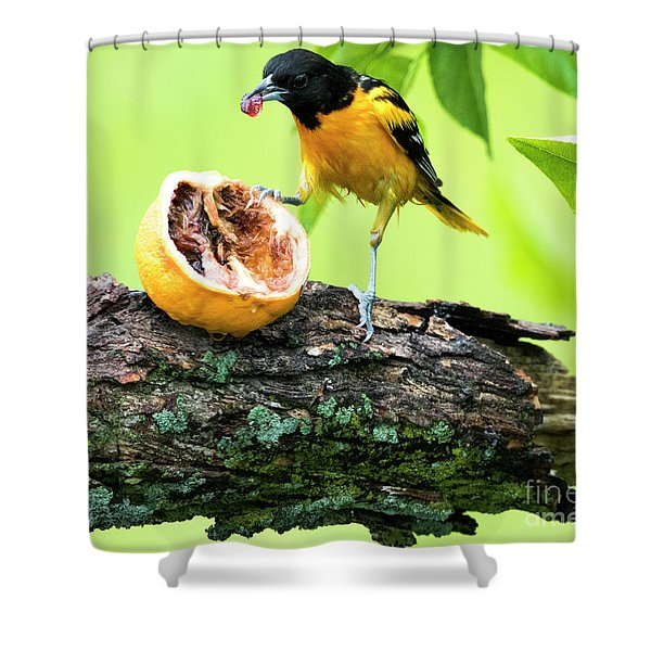 Soaking Wet Baltimore Oriole At The Feeder Shower Curtain