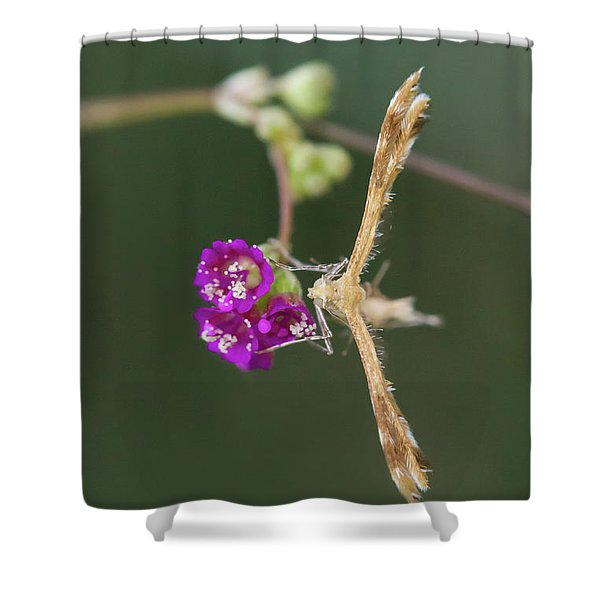 Spiderling Plume Moth On Wineflower Shower Curtain
