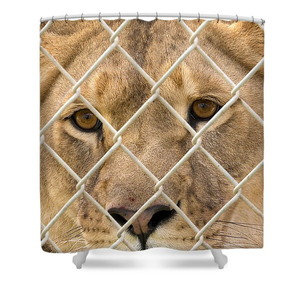 Staring Lioness Shower Curtain