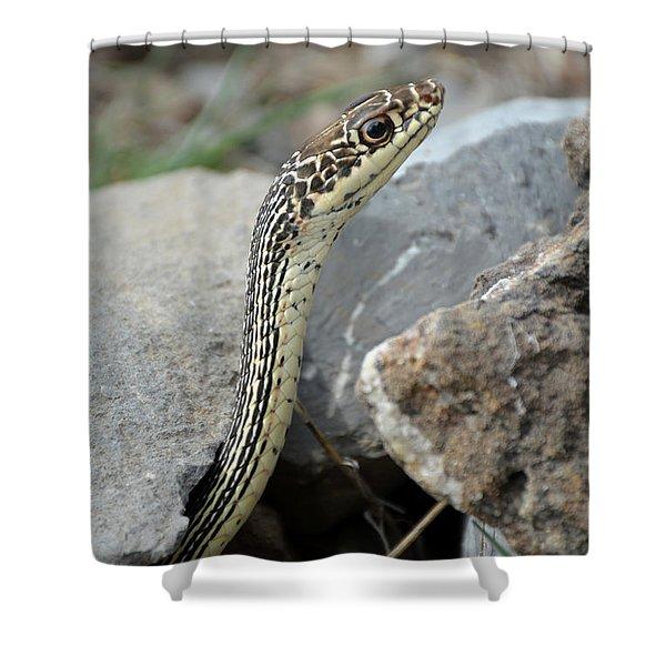 Striped Whipsnake, Masticophis Taeniatus Shower Curtain