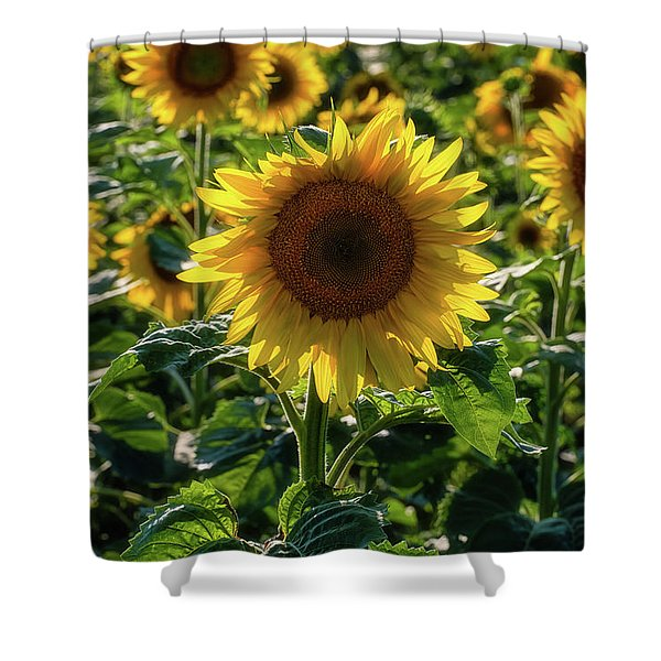 Shower Curtain featuring the photograph Sunflowers 7 by Heather Kenward