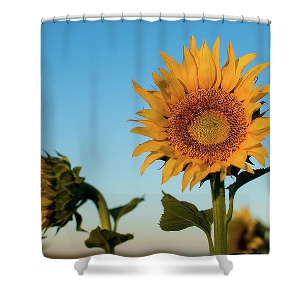 Sunflowers At Sunrise 1 Shower Curtain
