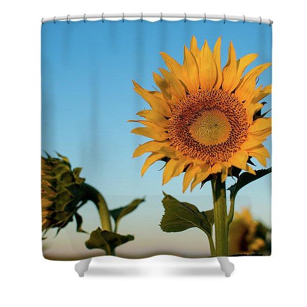 Sunflowers At Sunrise 1 Shower Curtain