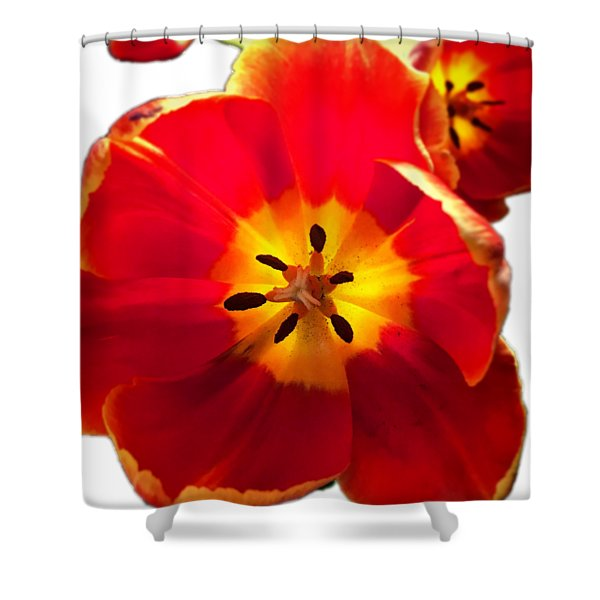 Sunkissed Tulips Shower Curtain