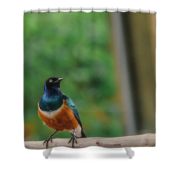 Superb Starling Shower Curtain