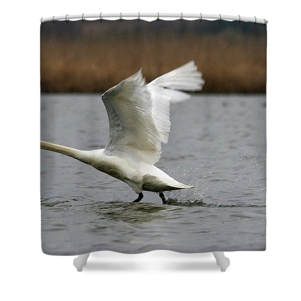 Swan During Take Off Shower Curtain