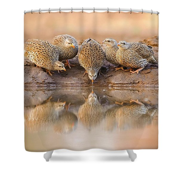 Thirsty Francolins Shower Curtain