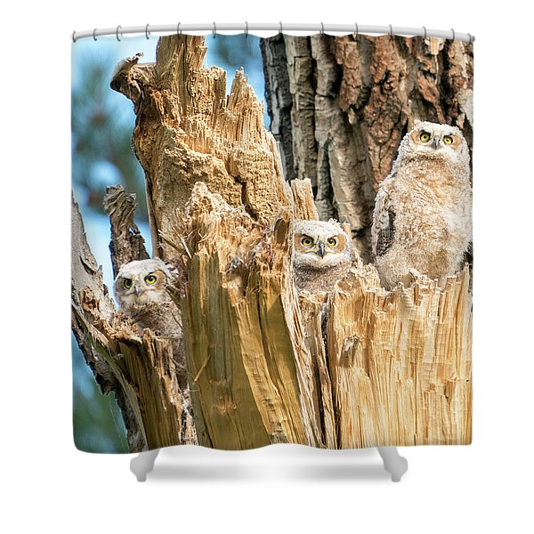 Three Great Horned Owl Babies Shower Curtain