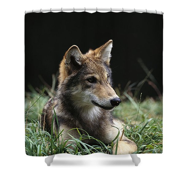 Timber Wolf Canis Lupus Portrait Shower Curtain