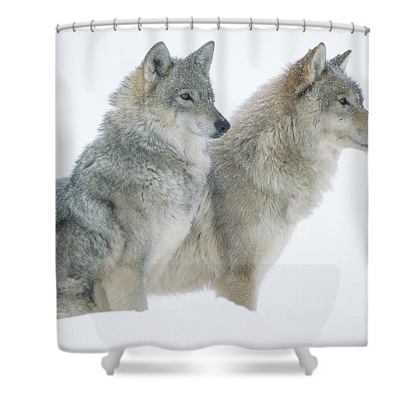 Timber Wolf Portrait Of Pair Sitting Shower Curtain