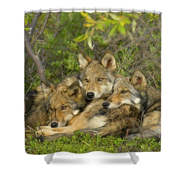 Timber Wolf Trio In Denali Shower Curtain