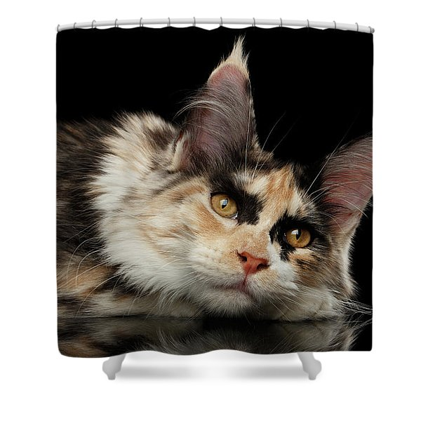 Tired Maine Coon Cat Lie On Black Background Shower Curtain