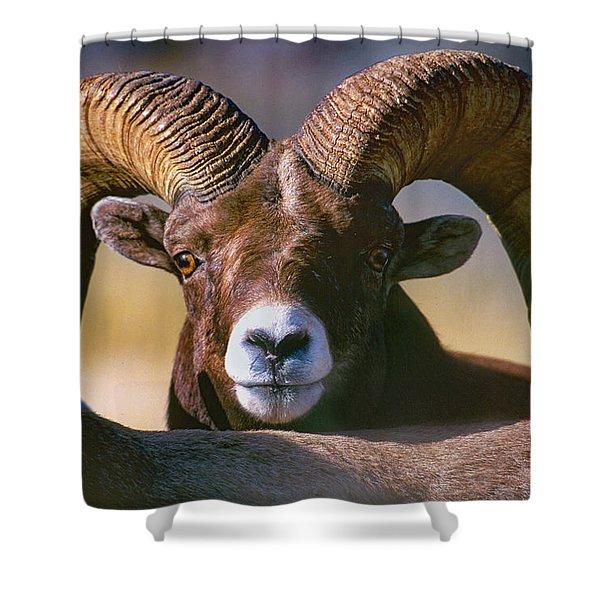 Trophy Bighorn Ram Shower Curtain