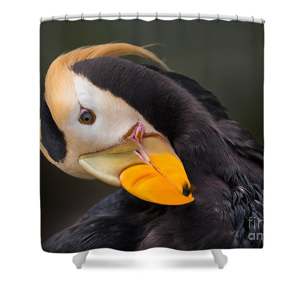 Tufted Puffin Preening Shower Curtain