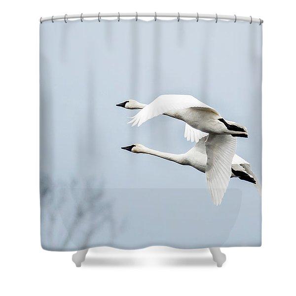Tundra Swan Lift-off Shower Curtain