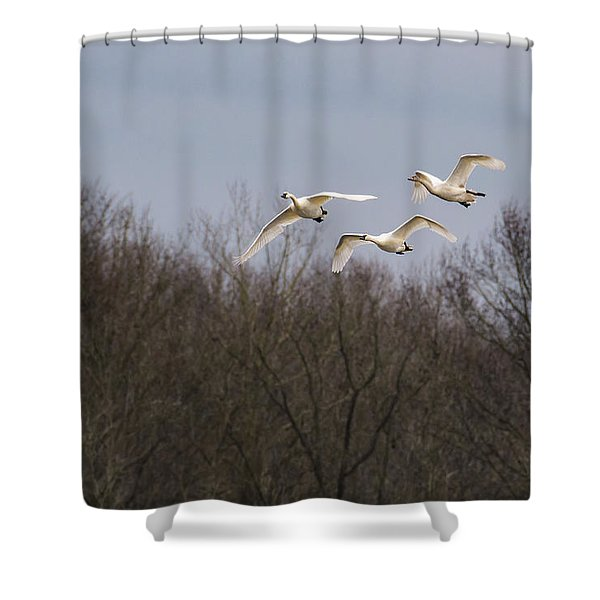 Tundra Swan Trio Shower Curtain