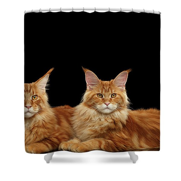 Two Ginger Maine Coon Cat On Black Shower Curtain