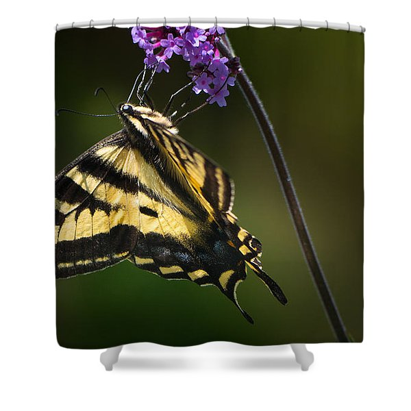 Western Tiger Swallowtail Butterfly On Purble Verbena Shower Curtain