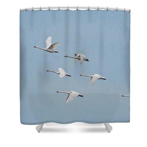 Whistling Swan In Flight Shower Curtain