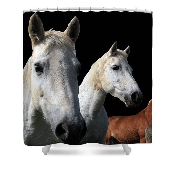 White Camargue Horses On Black Background Shower Curtain