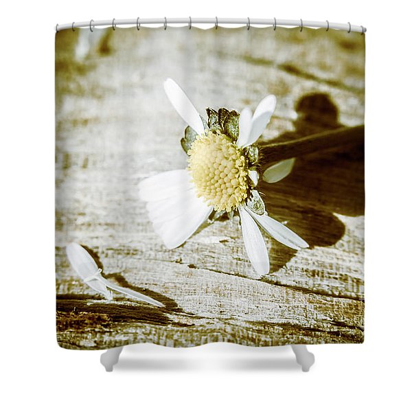 White Summer Daisy Denuded Of Its Petals Shower Curtain