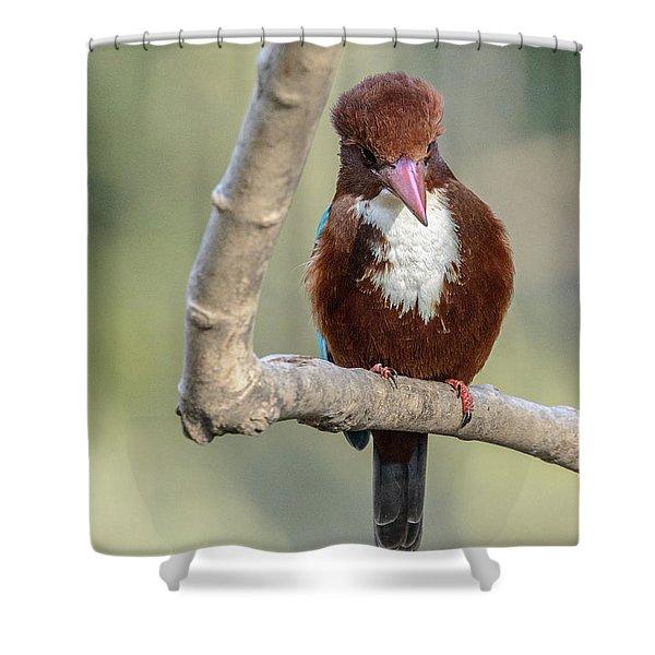 White-throated Kingfisher 01 Shower Curtain
