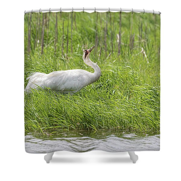 Whooping Crane 2017-10 Shower Curtain