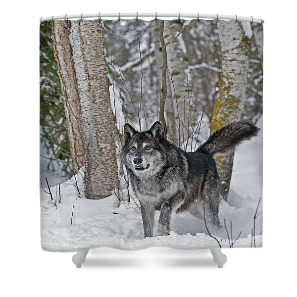 Wolf In Trees Shower Curtain