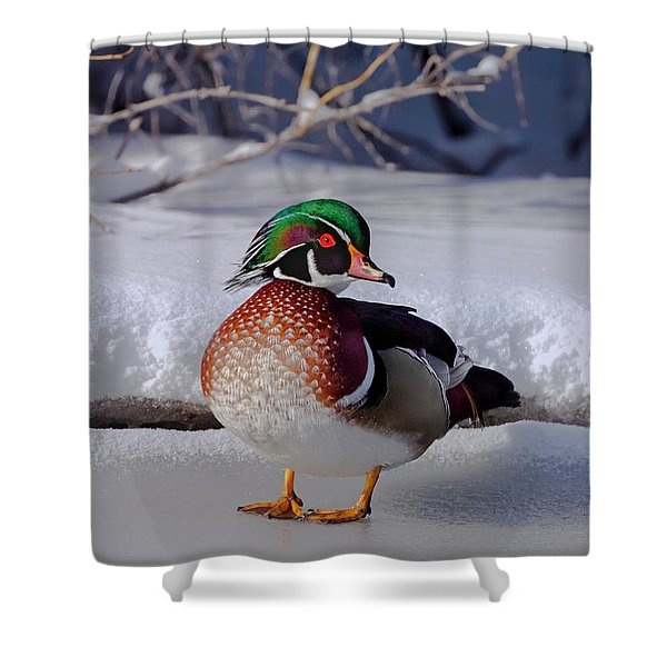 Wood Duck In Winter Snow And Ice, Montana, Usa Shower Curtain