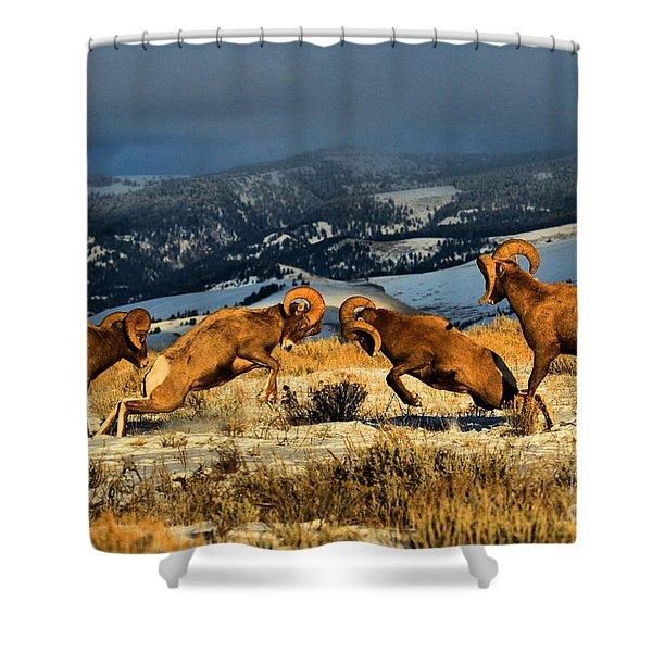 Wyoming Bighorn Brawl Shower Curtain