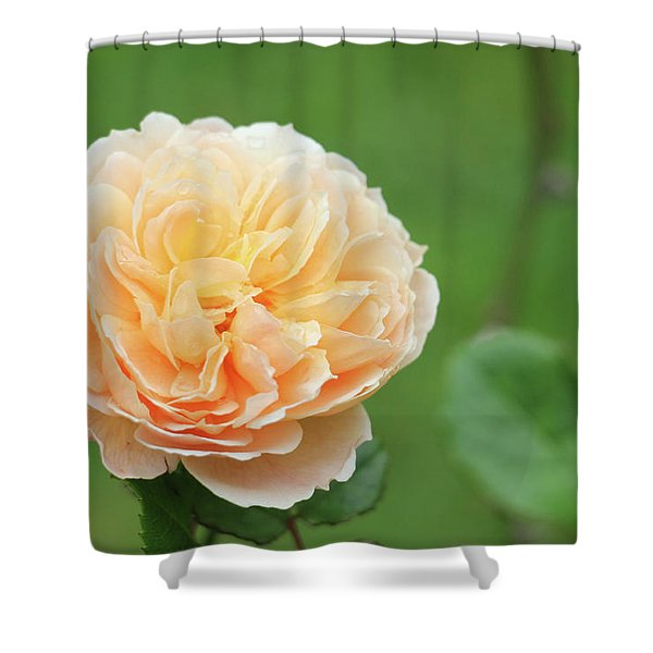 Yellow Rose In December Shower Curtain