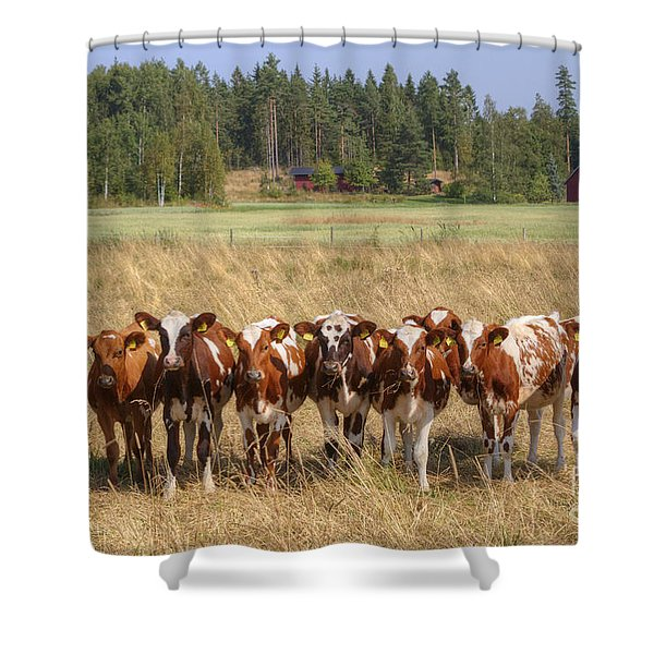 Young Calves On Pasture Shower Curtain