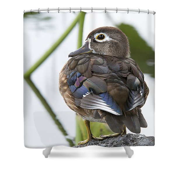 Young Female Wood Duck Shower Curtain