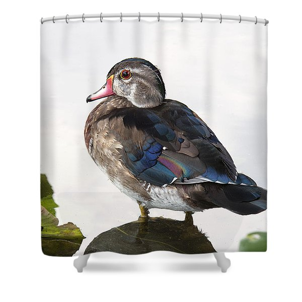 Young Male Wood Duck Shower Curtain