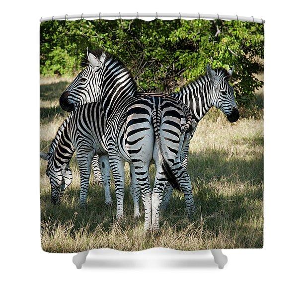 Three Zebras Shower Curtain