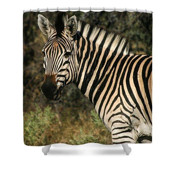 Zebra Watching Sq Shower Curtain