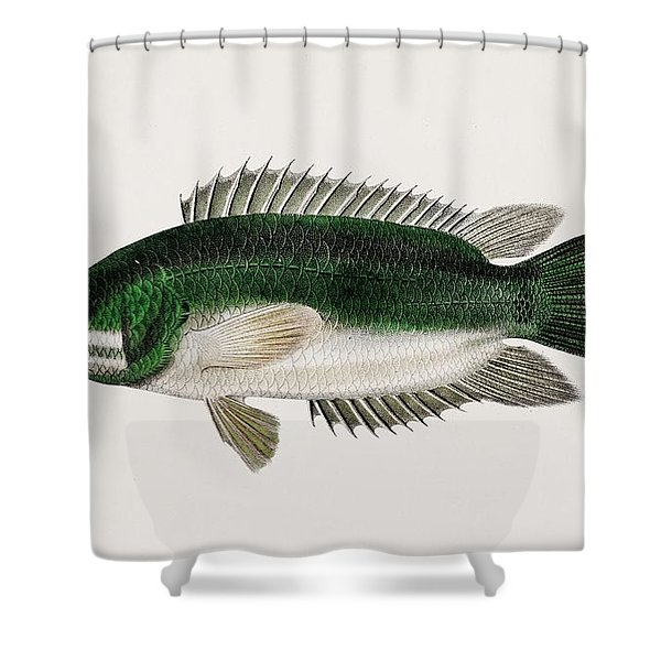 Climbing Perch  Anabas Testudineus  Illustrated By Charles Dessalines D  Orbigny  1806-1876  2 Shower Curtain