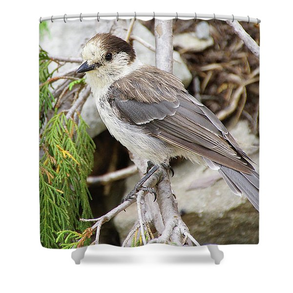 Camprobber - The Gray Jay Shower Curtain