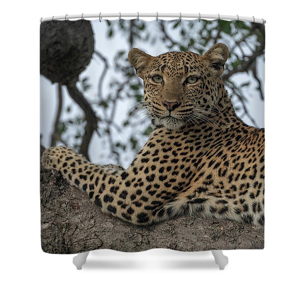 A Leopard Gazes From A Tree Shower Curtain
