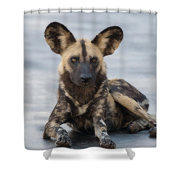 African Wild Dog Resting On A Road Shower Curtain