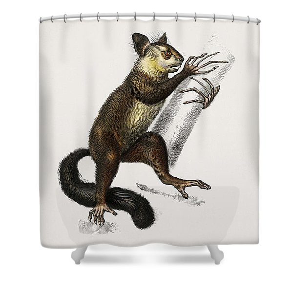 Aye-aye  Cheiromys Madagascariensis  Illustrated By Charles Dessalines D' Orbigny  1806-1876  Shower Curtain