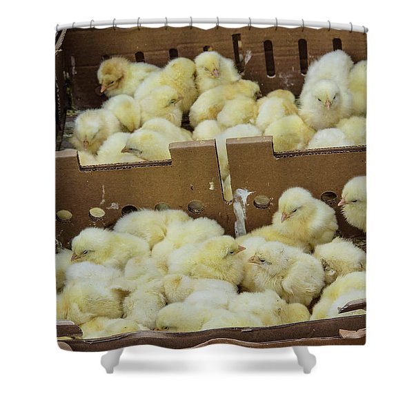 Baby Chicks  Shower Curtain