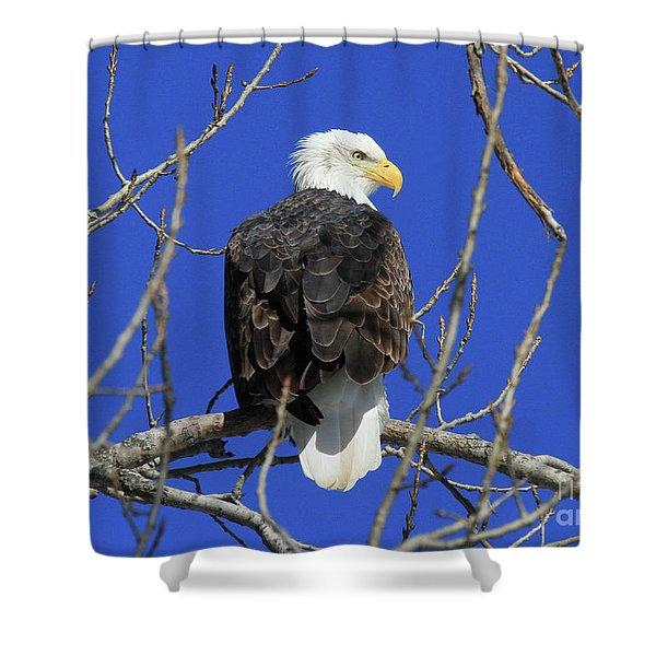 Bald Eagle And Blue Sky Shower Curtain