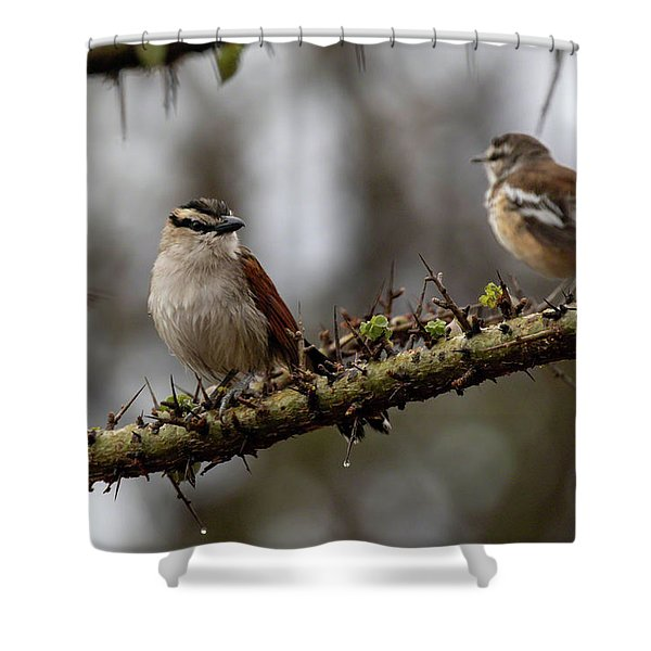 Black-crowned Tchagra And White-browed Scrub-robin Shower Curtain